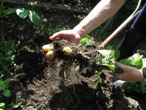 Schneider-garden_produce-11